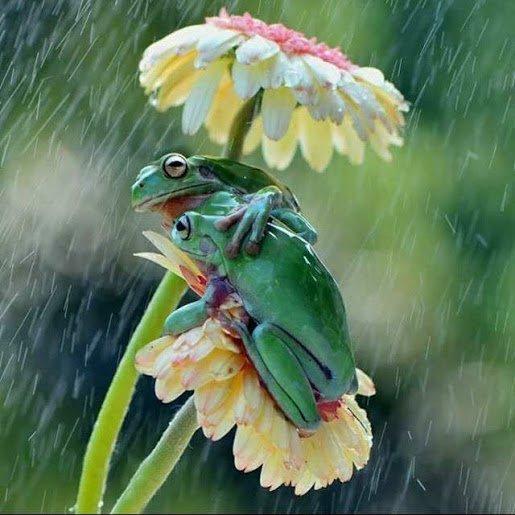 a jan jansen grenouilles
