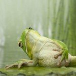 a grenouille 6