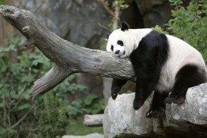 a panda