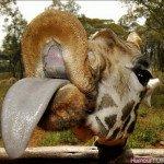 girafe_qui_tire_la_langue