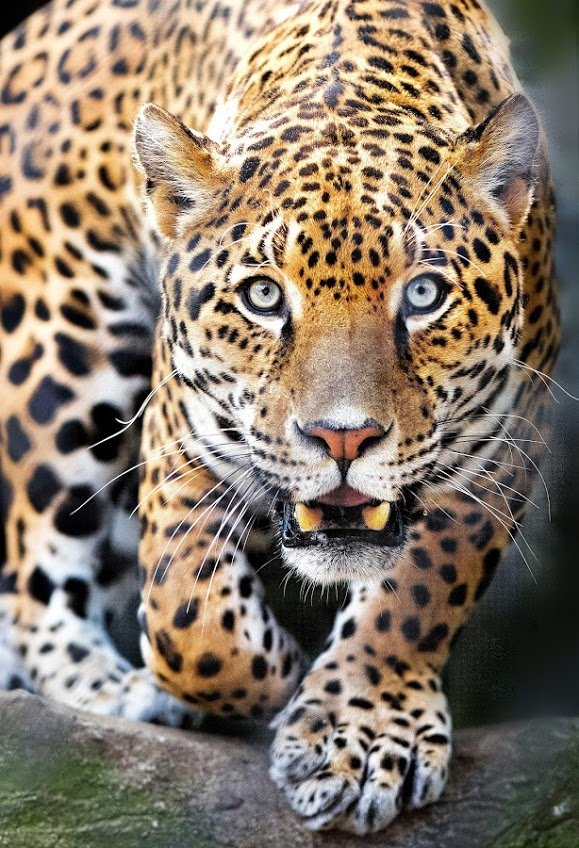 léopard9