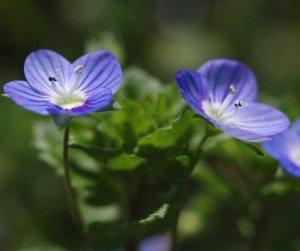 la veronique fleur