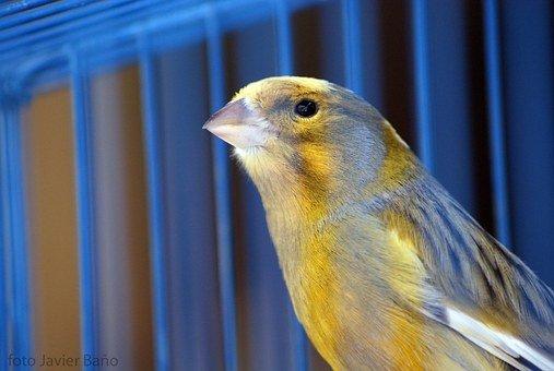 canary-20522__340