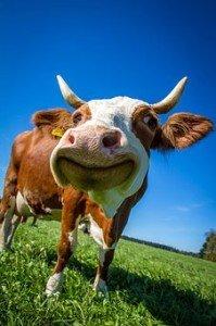 cow-2896329__340