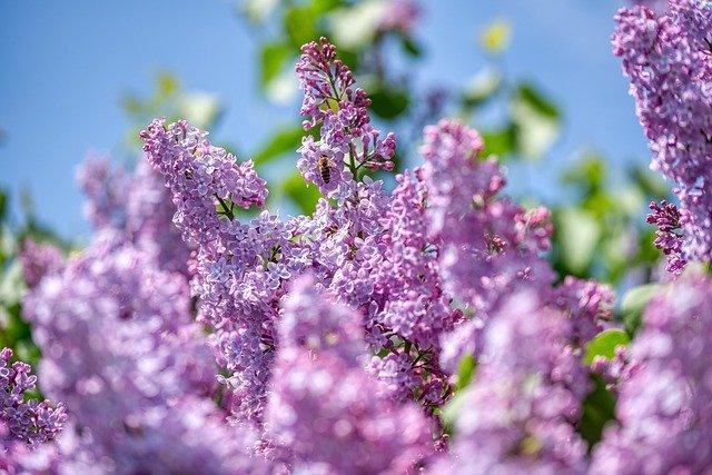 lilac-5061139_640