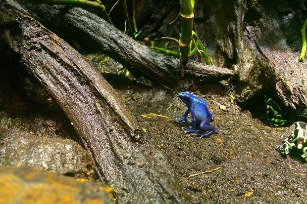 grenouille bleue